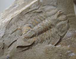 Fossilized trilobites